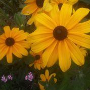 Au jardin ce week-end : de l'or dans vos massifs