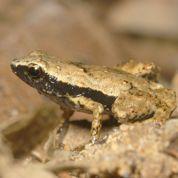 Une petite grenouille entend avec la bouche