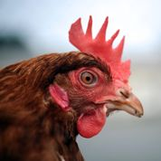 La poule, nouvelle star du recyclage
