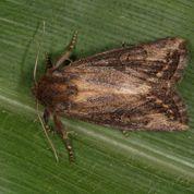 En Afrique, un papillon résiste à un maïs OGM
