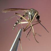 Un produit pour leurrer les moustiques