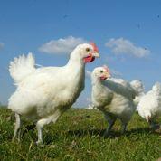 Les ventes des poulets Carrefour sans antibiotiques s'envolent