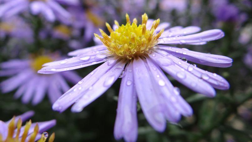 Certaines espèces d'asters fleurissent de mai à juillet, d'autres de fin août à novembre.