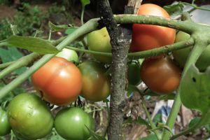 Il est inutile d'effeuiller entièrement vos pieds de tomates pour aider ces dernières à mûrir. Enlevez juste les feuilles fanées ou jaunies situées à la base de la tige.