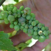 Un viticulteur veut rendre obligatoire l'assurance des vignes