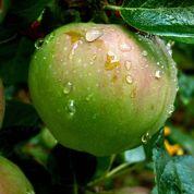 Au jardin: croquez vos pommes à Noël