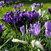 Au jardin: des crocus pour le printemps