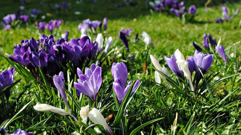 Mettez vos bulbes de crocus en terre dès maintenant, pour profiter de leurs couleurs dès la fin de l'hiver prochain.