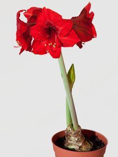 Pour fleurir, les amaryllis ont besoin d'un stress hydrique sévère.