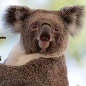Le koala menacé d'extinction ?