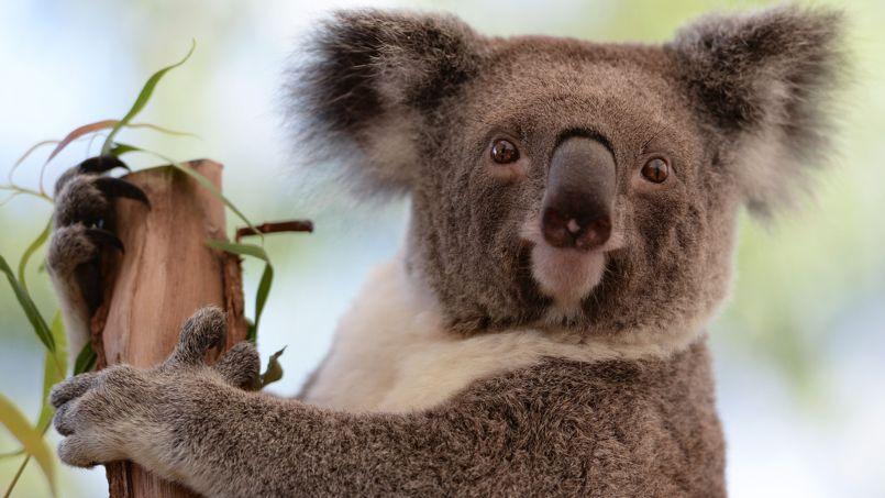 Le koala est, avec le kangourou, un animal emblématique de l'Australie.