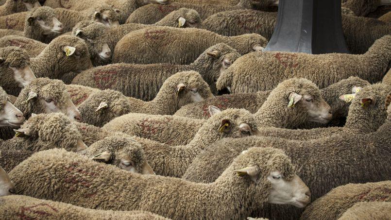 Les moutons sont une des cibles favorites des voleurs.