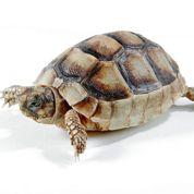 Les savants protègent la tortue d'Hermann