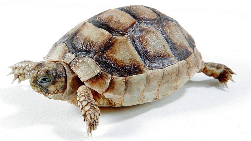 La tortue d'Hermann est une tortue de terre que l'on trouve en France dans la plaine des Maures et en Corse.