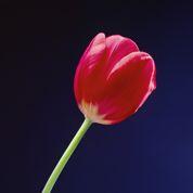 Conseils avisés à l'amateur de tulipes