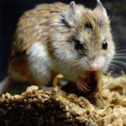 Ces souris insensibles au venin de scorpion