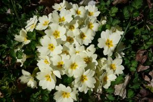 Plantez des primevères qui seront du plus bel effet au printemps, à la reprise de végétation.