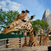 Zoo de Vincennes: adoptez une girafe !