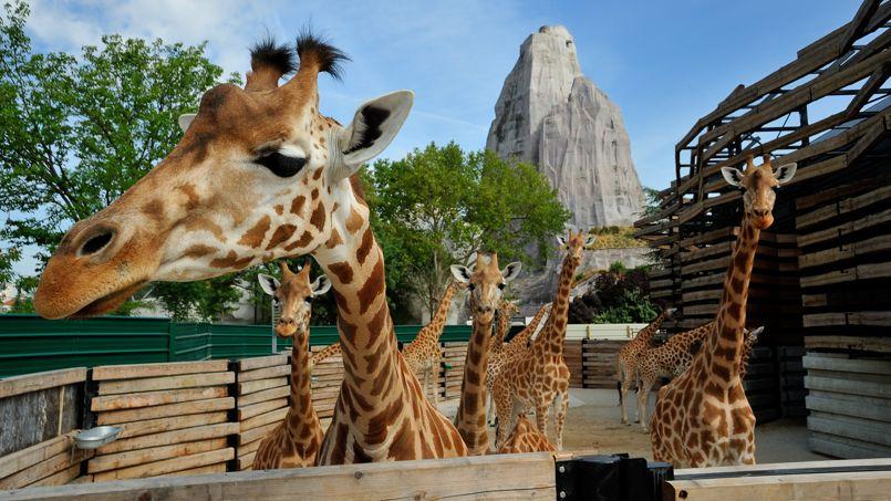 Zoo de vincennes adoptez une girafe for Prix d une girafe a poncer