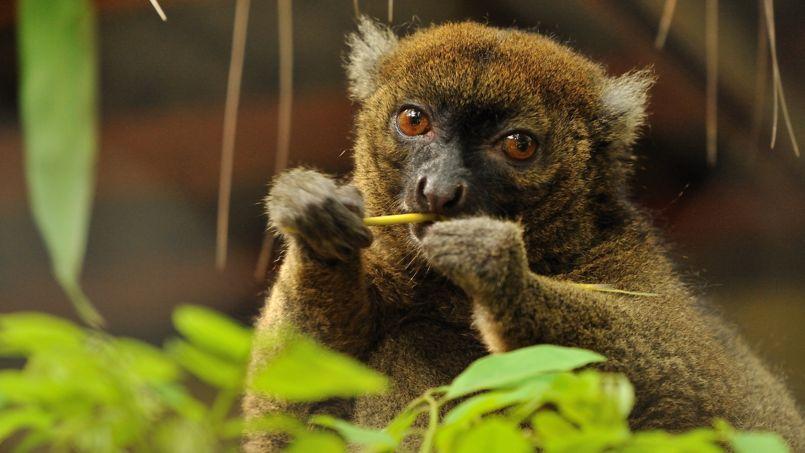 Zelena, le grand hapalémur, vit dans les bambous géants de Madagascar. Nul doute qu'avec sa fourrure soyeuse et ses yeux châtaigne, il attirera les faveurs de nombreux parrains.