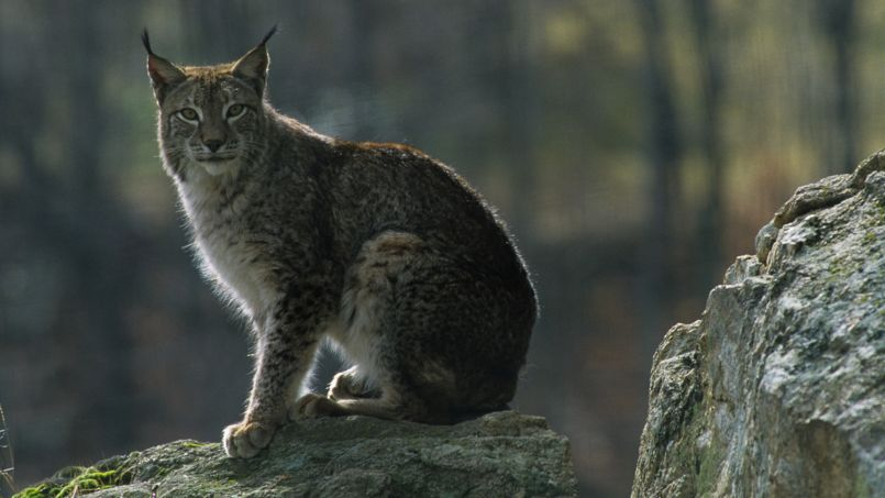 Lena porte un prénom qui sied bien à son espèce des lynx de scandinavie. Cette femelle carnivore qui vit dans les fôrets et montagnes attirera sans doute les regards bienveillants grâce à ces oreilles en pointe et son prelage fourni.