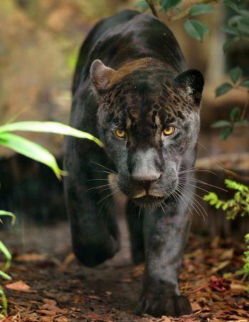 Aramais le jaguar a déjà son fan-club. Ses yeux dorés et ses pattes imposantes ne l'empêchent pas de faire partie des espèce menacées, mais lui assurent un grand nombre de parrainages dans les mois à venir.
