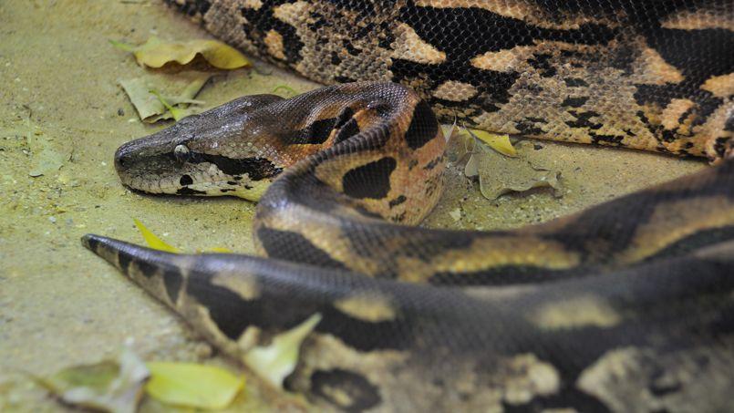 Si la palme des mal-aimés revient à la mygale, le boa est sans doute juste derrière. Symbole de la rénovation du zoo, qui n'accueillait auparavant aucun reptile, il devra sans doute miser sur les passionés de serpents pour amasser les parrainages.