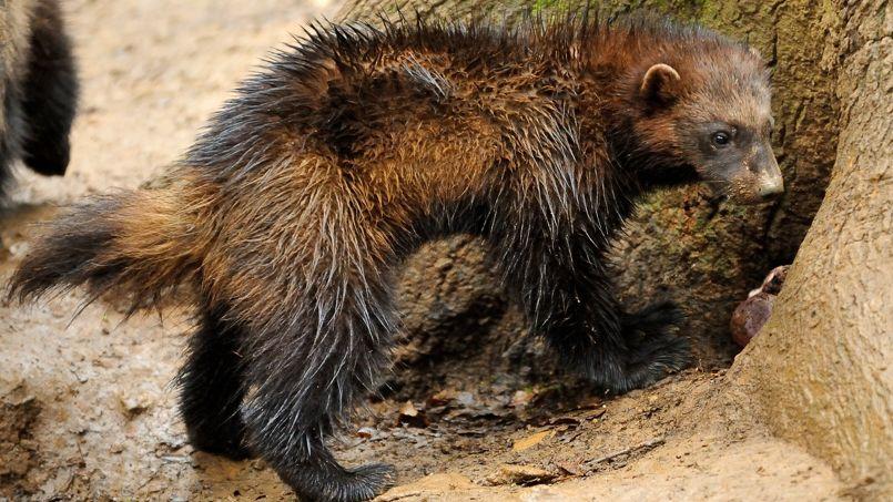 Ce petit animal ébouriffé est un glouton. Sans qu'il mange particulièrement beaucoup, c'est bien la famille à laquelle Zakko, la mascotte, appartient. Ce petit mammifère carnivore, cousin de la loutre et du furet, ne profite pas de la popularité d'un zèbre ou d'un manchot, mais pourra convaincre de nombreux parraineurs avec son nom insolite et son museau.