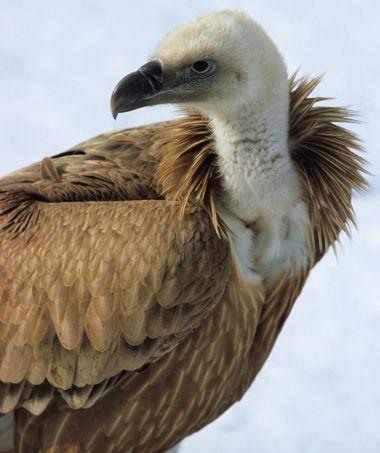Ce vautour n'affiche pourtant pas un mauvais profil. Reste que ce charognard garde mauvaise presse, comme tous les oiseaux de mauvais augure, et fait partie des mal-aimés.