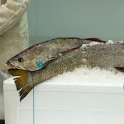 Marine Harvest paie 60 euros par saumon fugueur