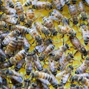 Les reines des abeilles ne cachent rien de leurs amours