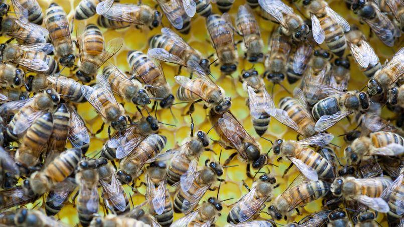 Un essaim d'abeilles autour de sa reine.