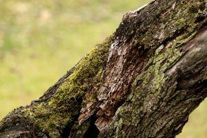 Frottez énergiquement les écorces du tronc afin d'enlever la mousse et les lichens.