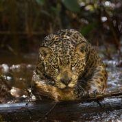 Amazonia ,le «Koh-Lanta» du capucin