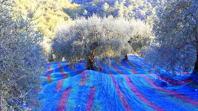Au tapis. Sur les hauteurs de Nice, l'olive est si précieuse que l'on déroule d'immenses tapis sous les arbres pour en perdre le moins possible. Pas question de gâcher ces délicats fruits mûris à cœur, prêts à être plongés dans la saumure et à affronter la presse. AOC depuis le 20 avril 2001, l'olive de Nice est bichonnée toute l'année par les producteurs de la région. Pour éviter la fraude, le cahier des charges est strict. Les fruits doivent impérativement provenir de la variété cailletier de l'olivier européen (Olea europaea subsp. europaea), cultivée dans les Alpes-Maritimes au nord de Nice et dans l'est du Var. Et le rendement des vergers ne doit pas dépasser 6 tonnes d'olives à l'hectare. L'huile ainsi obtenue est d'une rare et subtile douceur…