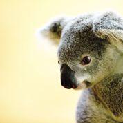 Le cri éléphantesque du koala en rut enfin expliqué