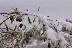 Les oliviers ne supportent pas une température inférieure à -7°C.