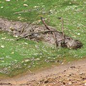 Les crocodiles sont des experts du guet-apens