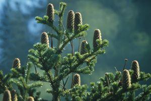 Le «vrai» sapin des Vosges se distingue de l'épicéa par ses cônes fièrement dressés vers le ciel.