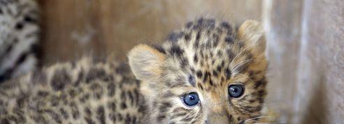 La panthère de l'Amour, un espoir pour les espèces menacées