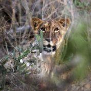 Les lions d'Afrique de l'ouest en danger