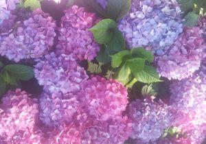 Pour faire bleuir les hortensias, il faut faire descendre le pH du sol en dessous de 6.