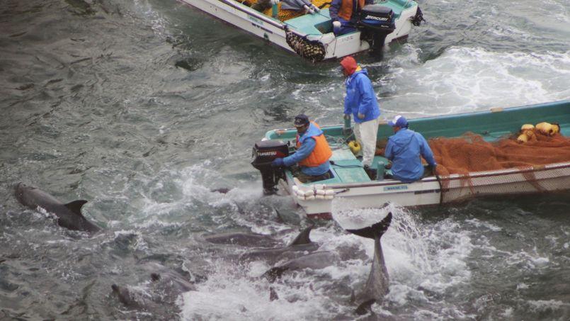 Les pêcheurs regroupent les dauphins dans la baie de Taji grâce à des ultrasons.