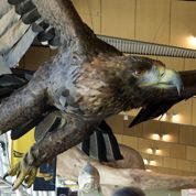 L'aigle du Hobbit abattu par un séisme en Nouvelle-Zélande