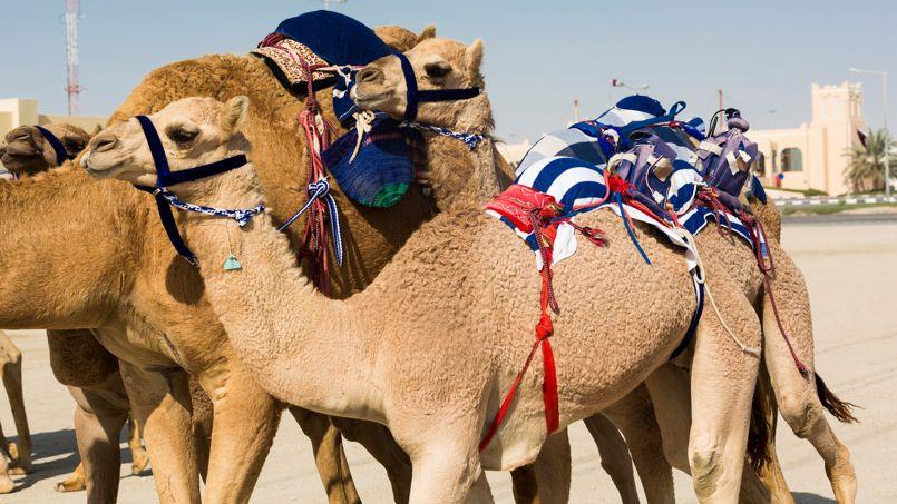 Près de Sheenhaniya, les Qataris renouent avec le passé et retrouvent leurs racines en rejoignant le «camélodrome» du Qatar et ses pistes de 3,6 et 9 kilomètres.