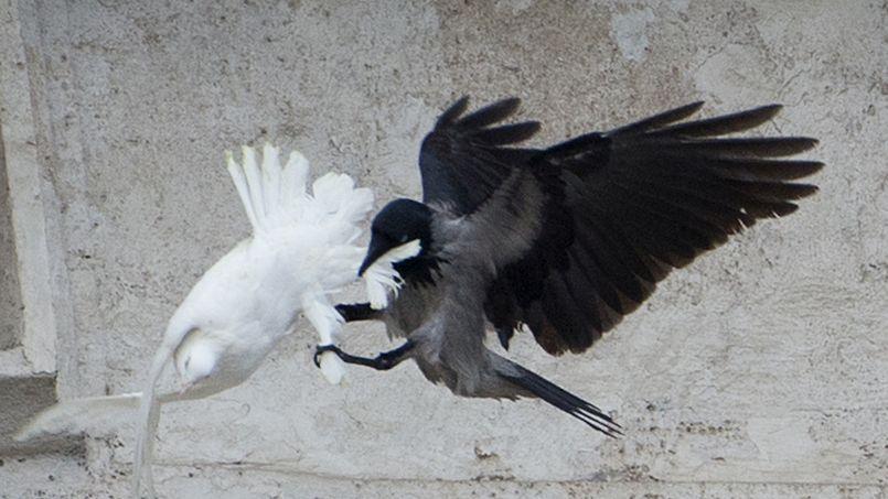 Sa comparse cible d'un corbeau a dû subir plusieurs coups de bec avant d'échapper à son prédateur.