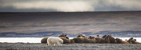 À la rencontre des ours et des morses de Sibérie