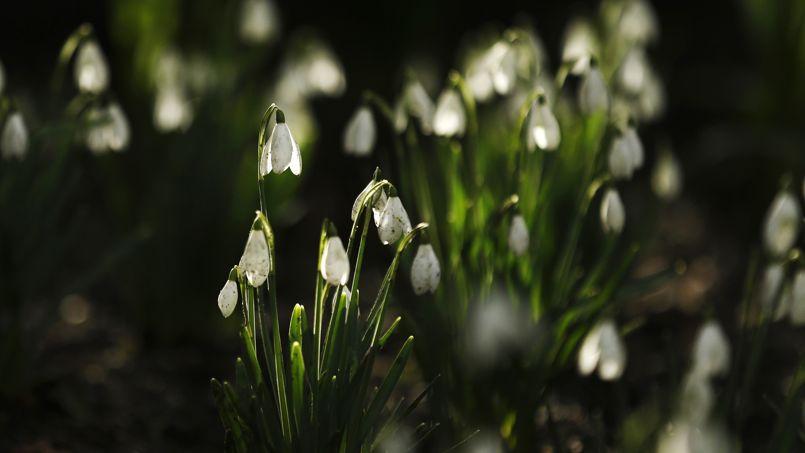 Les prémices du printemps se font sentir ces jours-ci avec l'éclosion des perce-neige,