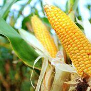 OGM: l'immense gâchis français