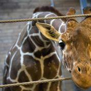«La mort du girafon danois révèle un choc de cultures»